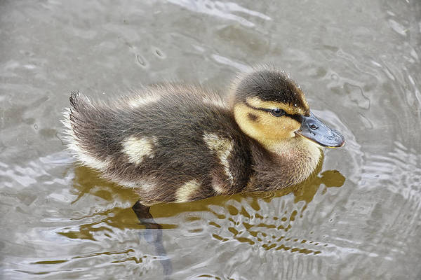 Photograph - Not So Ugly Duckling by Kuni Photography