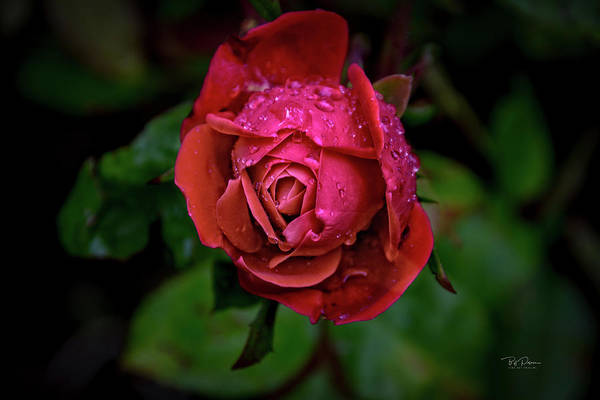 Photograph - Nothing But Rose by Bill Posner