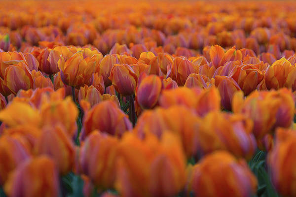 Wall Art - Photograph - Nothing But Tulips by Martin Podt