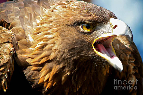 Golden Eagle Photograph - Nova - Auburn by Elizabeth Rhodes