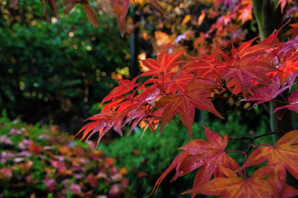 Photograph - Japanese Maple by Marilyn Wilson