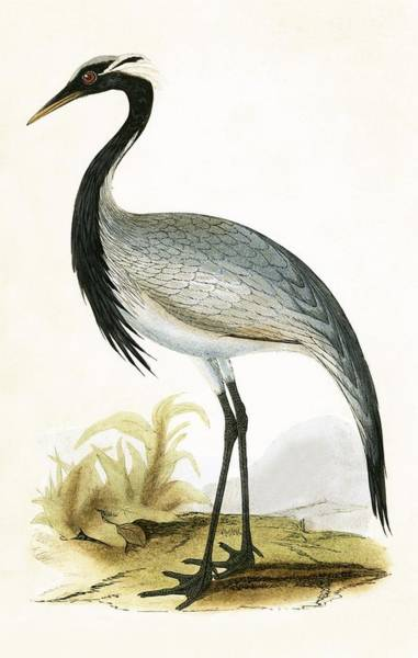 Ornithological Wall Art - Painting - Numidian Crane by English School