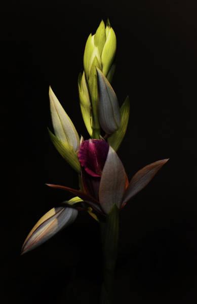 Photograph - Nun's Hood Orchid - Phaius Tancarvilleae by Larah McElroy