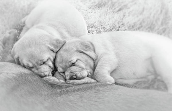 Wall Art - Photograph - Nursing Labrador Retriever Puppies Black And White by Jennie Marie Schell