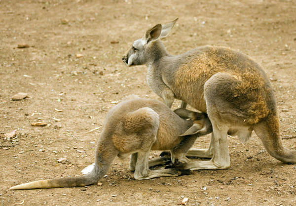 Kangaroo Wall Art - Photograph - Nursing Time by Mike  Dawson