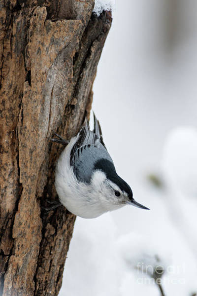 Sitta Carolinensis Photograph - Nuthatch And Spring Snow - D010349 by Daniel Dempster