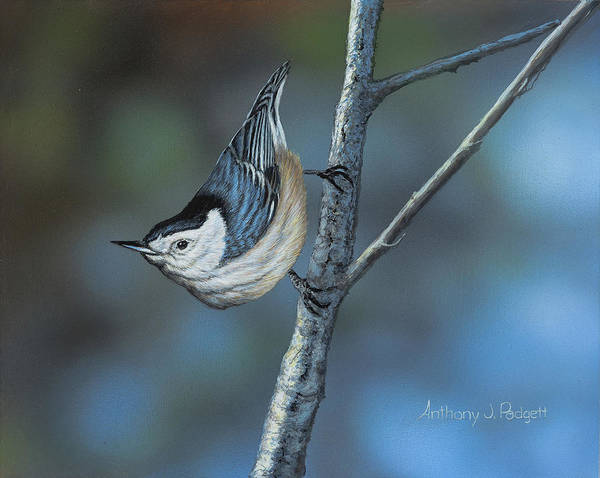 Painting - Nuthatch by Anthony J Padgett