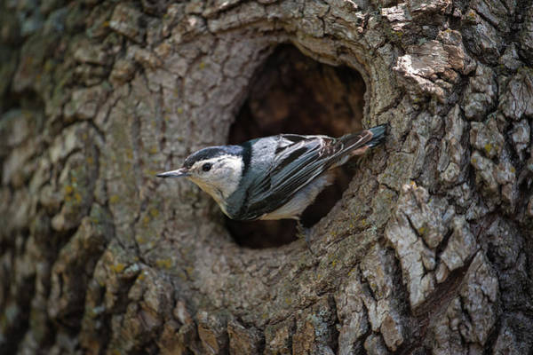 Photograph - Nuthatch At Nest Entrance by Jeff Phillippi