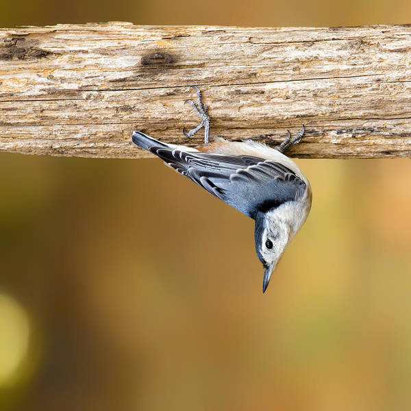 Bird Watching Digital Art - Nuthatch Dropdown by Bill Tiepelman
