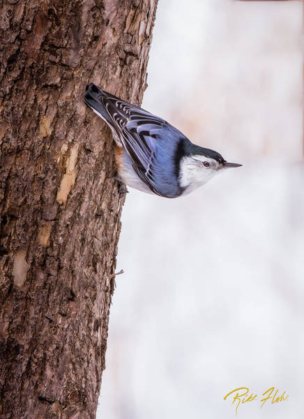 Photograph - Nuthatch Hanging by Rikk Flohr
