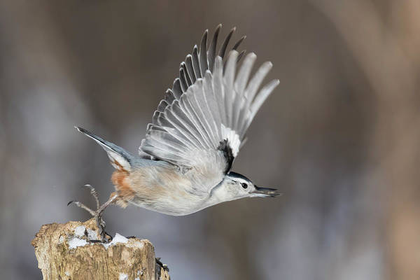 Sitta Carolinensis Photograph - Nuthatch In Action by Mircea Costina Photography
