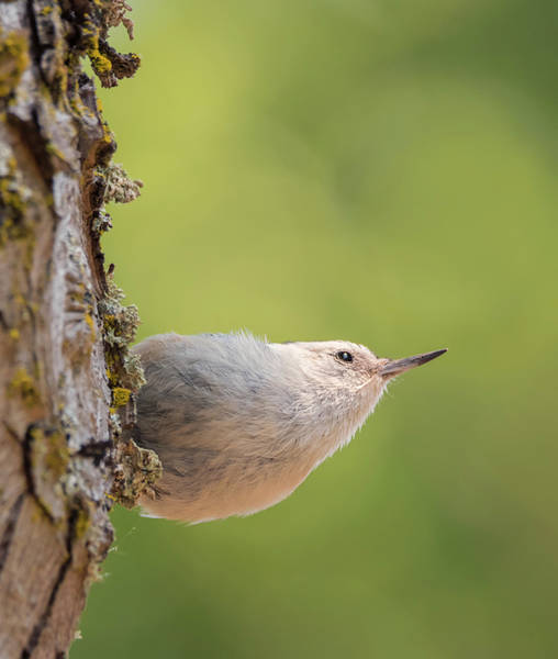 Sitta Carolinensis Photograph - Nuthatch In Deep Thought by Loree Johnson