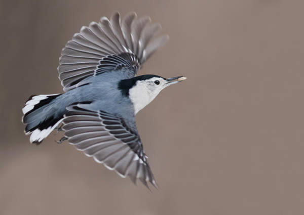 Sitta Carolinensis Photograph - Nuthatch In Flight by Mircea Costina Photography