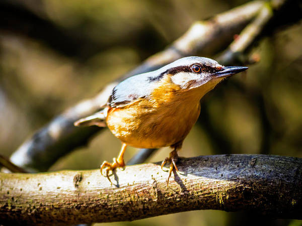 Photograph - Nuthatch Intense by Nick Bywater