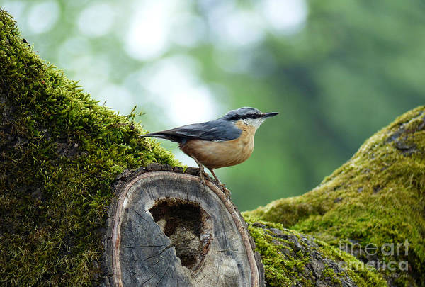 Photograph - Nuthatch - Sitta Europaea by Phil Banks