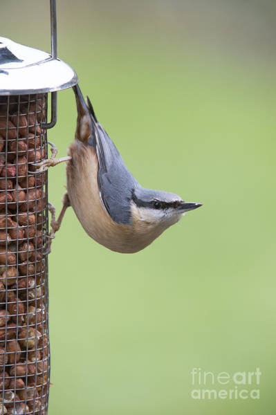 Photograph - Nuthatch by Tim Gainey