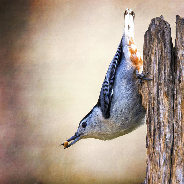 Sitta Carolinensis Photograph - Nuthatch Trajectory by Bill Tiepelman