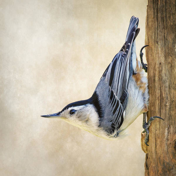 Sitta Carolinensis Photograph - Nuthatch Up Close And Personal by Bill Tiepelman
