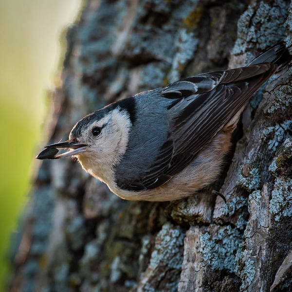 Photograph - Nuthatch With Seed by Jeff Phillippi