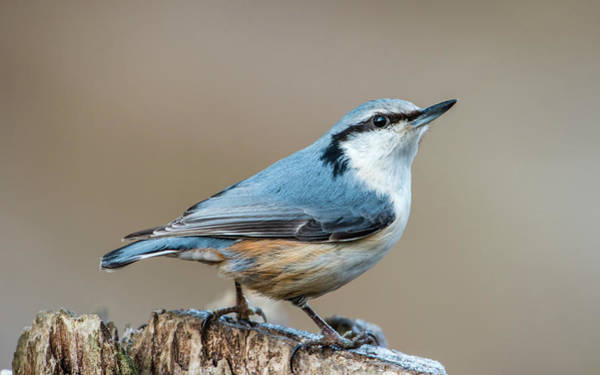 Photograph - Nuthatch's Pose by Torbjorn Swenelius