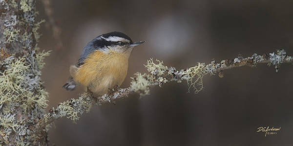 Don Anderson - Nuts about Nuthatches