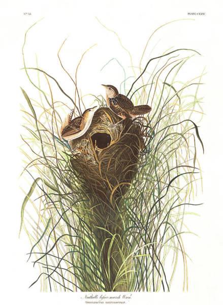 Marsh Bird Painting - Nuttals Lesser-marsh Wren by John James Audubon