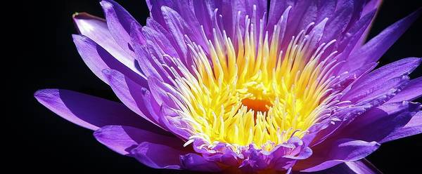 Botanica Photograph - Nymphaea 'director George T. Moore' by Bruce Bley