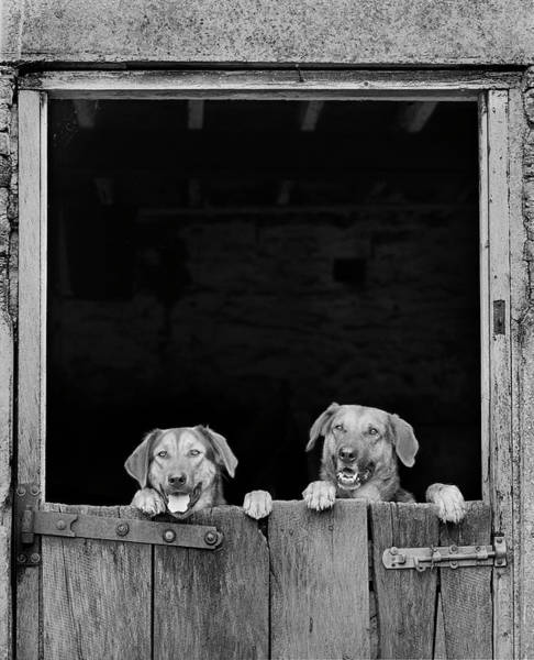 Photograph - Nz Huntaways, Forever Happy And Nosey. Working Sheep Dogs by Maggie McCall