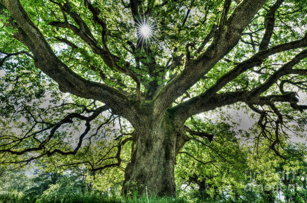Spring Awakening Photograph - Oak And Rays by DiFigiano Photography