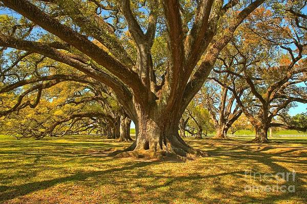 Photograph - Oak Branches Everywhere by Adam Jewell