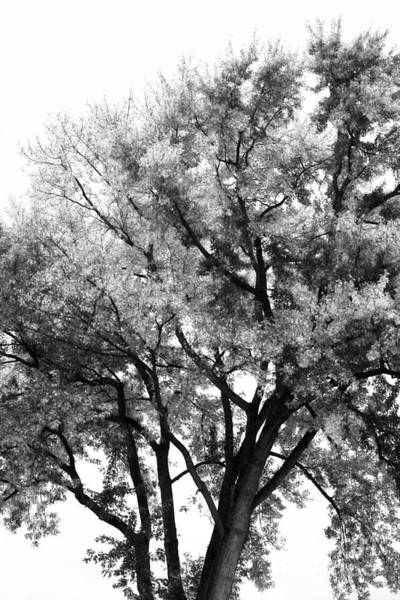 Photograph - Oak In Autumn Black And White by Angela Rath