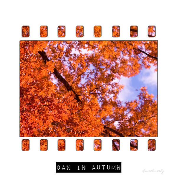 Photograph - Oak In Autumn by Denise Beverly