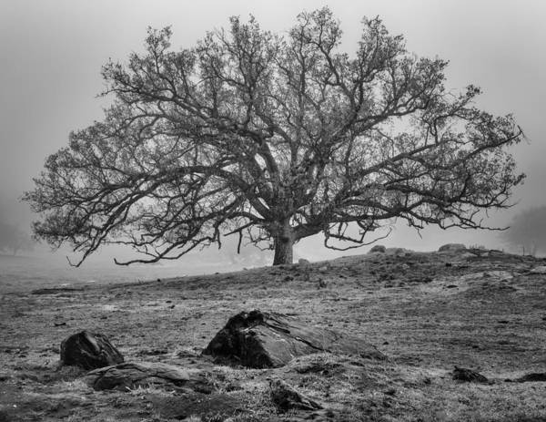 Santa Photograph - Oak In Fog by Joseph Smith