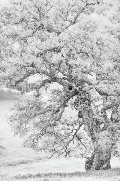Wall Art - Photograph - Oak In Hi-key by Joseph Smith