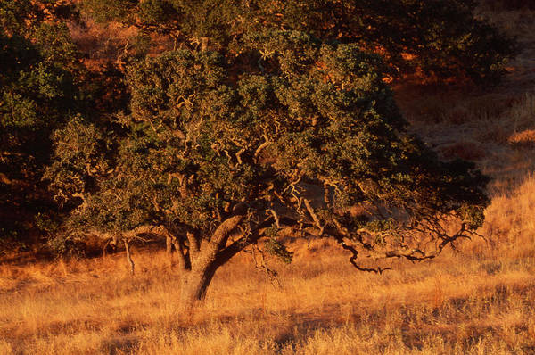 Figueroa Mountain Photograph - Oak In Sunset - Figueroa Mountain Road by Soli Deo Gloria Wilderness And Wildlife Photography