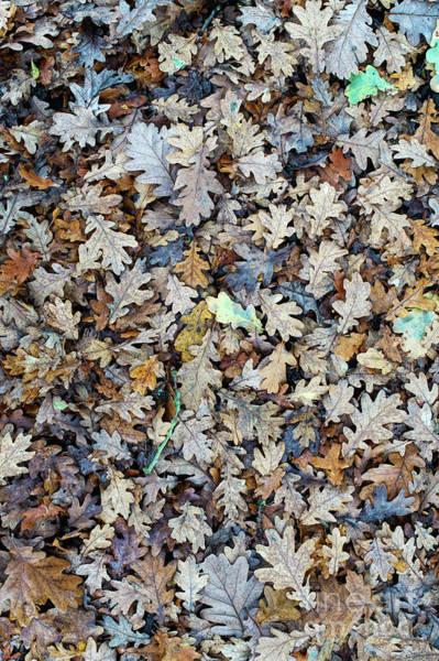 Photograph - Oak Leaf Litter by Tim Gainey