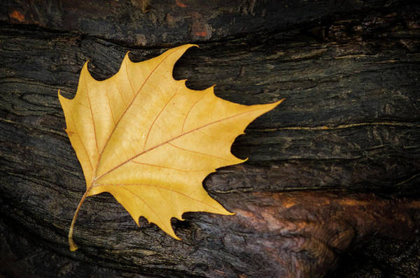 Photograph - Oak Leaf On Log by Jeff Phillippi