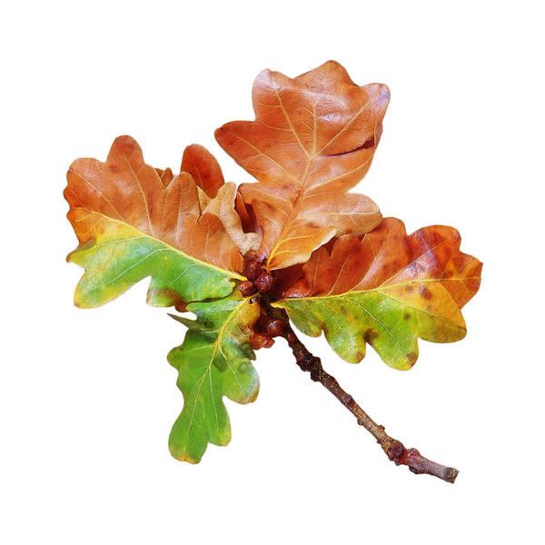 Photograph - Oak Leaves Autumn Glow by Gill Billington