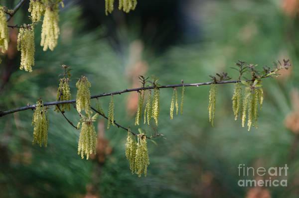 Photograph - Oak Pollen by Dale Powell
