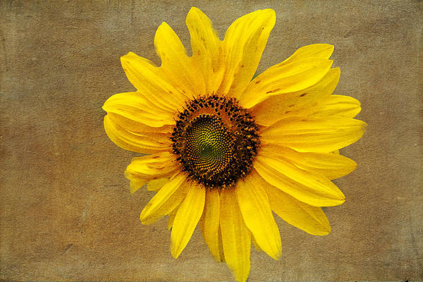 Photograph - Oak Street Sunflower by Tom Singleton