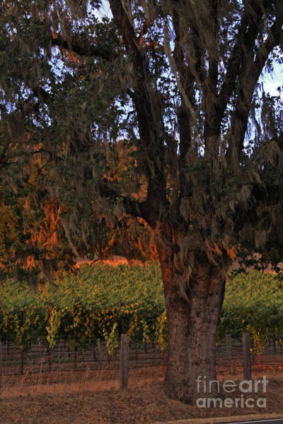 Oak Tree And Vineyards In Knight's Valley Art Print