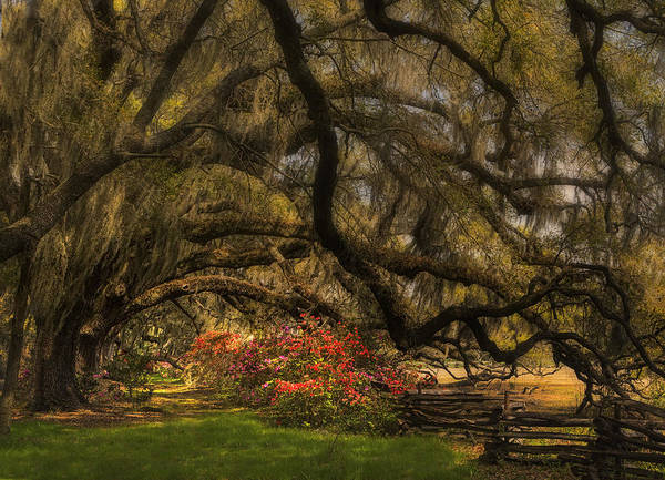 Photograph - Oak Tree Canopy by Ken Barrett