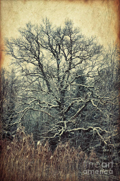 Photograph - Oak Tree In Winter by Jutta Maria Pusl