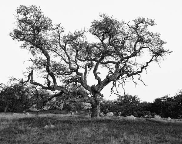 Photograph - Oak Tree Weave - B And W by Paul Breitkreuz