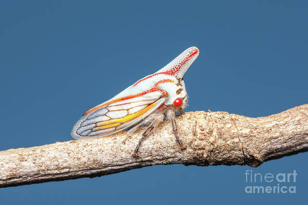 Photograph - Oak Treehopper I by Clarence Holmes