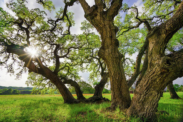 Wall Art - Photograph - A Star And Oak Trees Of Independence, Texas by Ellie Teramoto