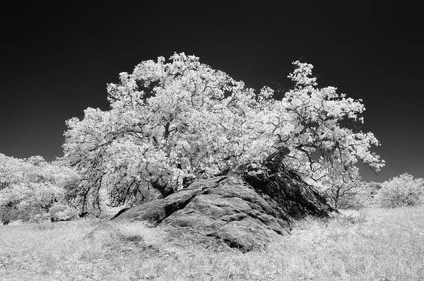 Ir Photograph - Oak With Boulder I by Joseph Smith