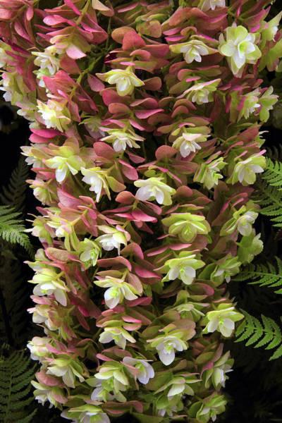 Hydrangea Photograph - Oakleaf Hydrangea  by Jessica Jenney