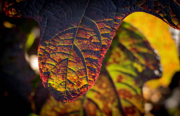 Photograph - Oakleaf Hydrangea Leaf In Fall by Keith Smith