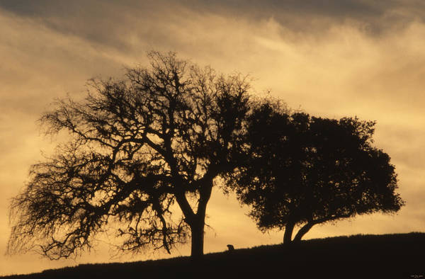 Solvang Photograph - Oaks In Sunset - Foxen Canyon Road by Soli Deo Gloria Wilderness And Wildlife Photography